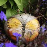 phoebis philea, motyl, kamień