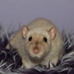 portret szczura